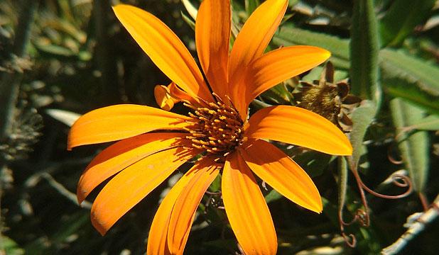 Flor de la Mutisia, leyenda